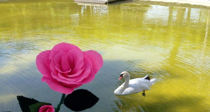 Rosa é a flor oficial das Festas do Povo de Campo Maior